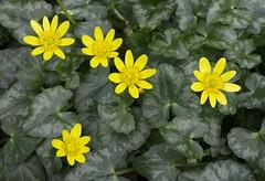 Celandine (Ranunculus ficaria), Tutshill, Gloucestershire (Jim 592) Tags: celandine wild tutshill gloucestershire england europe ranunculus ficaria uk britain botany