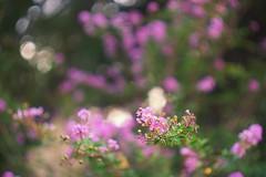 Pink Crape Myrtle (gwuphd) Tags: enna lithagon 85mm f15 crapemyrtle flower bokeh swirly