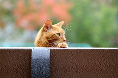 Mack keeping an eye out for both Dirt and for embarrassing Halloween costumes! (Kerri Lee Smith) Tags: fall autumn tabbies felines orangecats orangetabbies gingercats gingertabbies bench park fallleaves autumnleaves mack