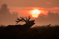 Red Deer, Bushy Park (Daniel Trim) Tags: red deer rut bushy park royal parks wow