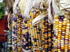 Indian Corn (Lana Pahl / Country Star Images) Tags: autumncolors autumnseason foreverautumn catchycolors petalsandfrost