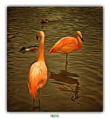 """""""ON EST DES NORMANDS ROSES !"""" (rgisa) Tags: parc park zoologique clres seinemaritime flamingo flamand rose pink"""