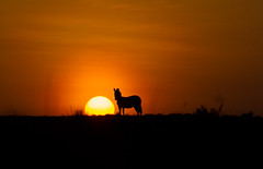 Kenya sunset (On Explore 10/17/2016) ( Mathieu Pierre photography) Tags: kenya sunset maasai mara safari f28 70200mm 7d canon eos vanguard tripod grip zebra 7dmark2