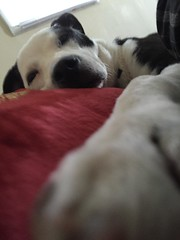 This is my pillow... - v6477 (SouthernBreeze) Tags: trip travel family friends red usa dog pet white black silly color apple face animal fun nose al paw eyes unitedstates huntsville head expression leg alabama ears canine pillow rest ios peg doggie snout muzzle k9 hsv iphone 2015 i6 southernbreeze iphoneography