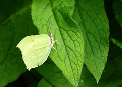 Brimstone (tad2106 - Trudie Davidson Photography) Tags: nature butterfly insect wildlife invertebrate weststowcountrypark