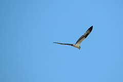 Osprey (Boulder Flying Circus Birders) Tags: osprey pandionhaliaetus goldenponds birdwalk stevefrye ospreyboulder ospreycolorado wildbirdboulder wildbirdcolorado ospreybouldercounty wildbirdcompany