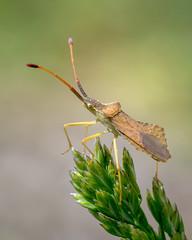Syromastus rhombeus (GeoTsia) Tags: macro bug insect truebug coreidae hemiptera dockbug rhombeus pentatomomorpha coreoidea syromastusrhombeus syromastus