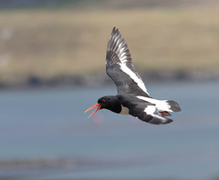 Oystercatcher, Papil, Shetland, Scotland (John Strung) Tags: birds scotland unitedkingdom oystercatcher shetland bridgeend papil