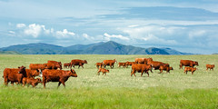 Field of Reds (www.toddklassy.com) Tags: ranch sky panorama mountains green nature beautiful beauty grass animals clouds rural season walking landscape countryside spring scenery montana mt view cows feeding angus many farm beef horizon country meadow nobody farmland hills pasture ag prairie copyspace agriculture breed chinook pastoral distance livestock herd tranquil grazing graze ranching grassy stockphotography herding groupofanimals colorimage blainecounty redangus bearpawmountains