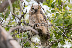 Great Horned Owl fledgling keeps close watch