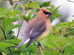Cedar Waxwing (Birdman of Beaverton) Tags: bird washington cedarwaxwing sx50
