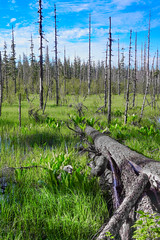 Wetlands in Tongass National Forest (colbyac) Tags: trees tree grass alaska landscape scenery outdoor wetlands marsh