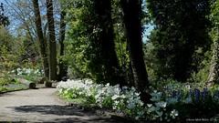 IMG_3157 AT3 WITTE TULPEN (Anne-Miek Bibbe) Tags: primavera nature garden spring rotterdam may nederland jardin natuur mai jardim tulip mei tuin lente printemps maio maggio tulipa giardino frhling tulpe tulipano tulp tulipn voorjaar 2016    bibbe arboretumtrompenburg annemiekbibbe trompenburgtuinenarboretum canoneosm
