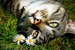 Whiskers enjoying spring sunshine and a pair of daisies (captainmorganme) Tags: pet sun flower cute cat spring cotswolds whiskers daisy whilovethecotswolds