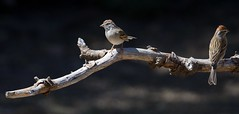 Chipping sparrow (canuck4everr) Tags: sparrow chipping chippingsparrow spizellapasserina