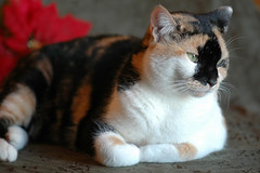 The Amazing Calico Cat - Cat Breeds in photographs (PhotographyPLUS) Tags: pictures graphics photos illustrations images stockphotos articles footage stockimage freephoto stockphotograph