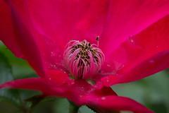 Flower.jpg (Kurt Braeckmans) Tags: red plant flower macro nature closeup outdoor 100v10f 100mm l f28 100mmf28l