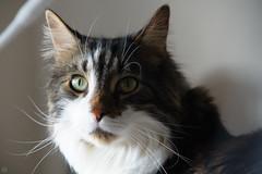 20160522-D7-DSC_1707.jpg (d3_plus) Tags: cats animal japan cat nikon bokeh daily telephoto  tele nikkor  kanagawa dailyphoto  70210 thesedays  70210mm  70210mmf4    70210mmf4af 702104 d700 nikond700 aiafnikkor70210mmf4s 70210mmf4s