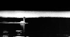 swan (grahamrobb888) Tags: blackandwhite scotland spring swan perthshire sigma clunieloch nikond800 sigma120400mm monochromecontrast on1pics