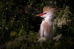 Cattle Egret, Orange County, FL [Explore 25 May 2016] (Blackrock23) Tags: florida egret cattleegret nikond4s nikon300mmpf