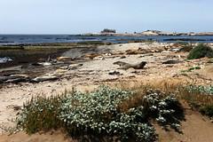 Ano Nuevo State Park (syfon) Tags: ocean california statepark park ca sea elephant beach us state pacific seal seals elephants ano nuevo anonuevo elephantseals anonuevostatepark
