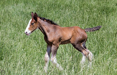 Clydesdale Colt on the run (Mike Matney Photography) Tags: ranch horses horse rural canon us midwest unitedstates farm may missouri bud budweiser clydesdale boonville 2016 warmspringsranch eost5
