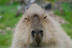 Capybara (flailing DORIS aka Fur Will Fly) Tags: uk cute nature animal fun kent wildlife howletts capybara