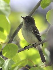 Least Flycatcher (jd.willson) Tags: nature birds bay wildlife birding maine jd least penobscot flycatcher willson islesboro empid