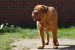 I feel hot and dirty ... (Martin Werge Nissen) Tags: dog animal spring maximus doguedebordeaux canonef70200mmf4lisusm