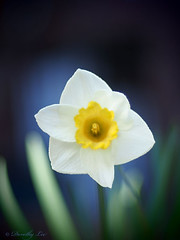 Cool Daffodil In The Garden Shadows (dorothylee) Tags: flowers flower color colour nature floral garden botanical photography photo spring cool colorful photograph daffodil colourful daffodils springtime dorothyleephotography