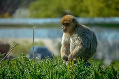 Quizzical monkey (Steve_McCaul) Tags: beginnerdigitalphotographychallengewinner