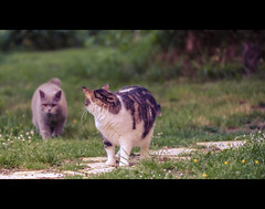 Watch your back (The Mystery of Golgotha) Tags: cats green grass mystery cat canon outside cinematic 6d ef70200mm f28l