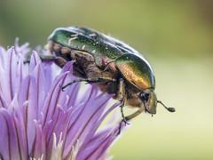 P5210151 (turbok) Tags: tiere insekten kfer rosenkfercetoniinae
