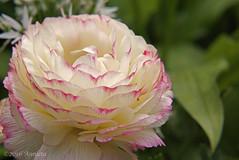 Ranonkel ( Annieta ) Tags: flower netherlands fleur garden spring flora sony nederland jardin mei tuin lente allrightsreserved bloem 2016 krimpenerwaard annieta a6000 usingthispicturewithoutpermissionisillegal