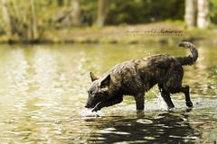 IMG_6999 (jabberjinx) Tags: dog lake water dutch swimming canon shepherd 85mm canine hh brindle 85 ef doge dutchshepherd herder swimmingdog hollanti hollandse dutchie paimenkoira hollandseherder canoneos7d hollanninpaimenkoira
