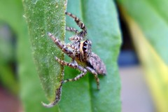 Spinne in meiner Strohblume (mama knipst!) Tags: insect spider spinne insekt
