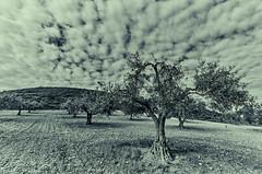 olivo (MaPinGo) Tags: spain olivo mapingo miguelangelpinel