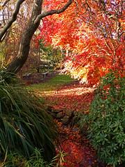 P1090380-autumn leaves-maple-A (elisabethgleave) Tags: garden autumnleaves japanesemaple