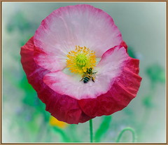 Two-Toned Breakfast (tdlucas5000) Tags: red white flower yellow closeup bokeh bee poppy twotoned sigma105