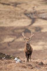 SJ7_6117 (glidergoth) Tags: red scotland deer reddeer cervuselaphus