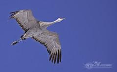 DSC_9485 (mikeyasp) Tags: nature birds outdoors flying wings nebraska feathers cranes redheads avian sandhillcranes gruscanadensis