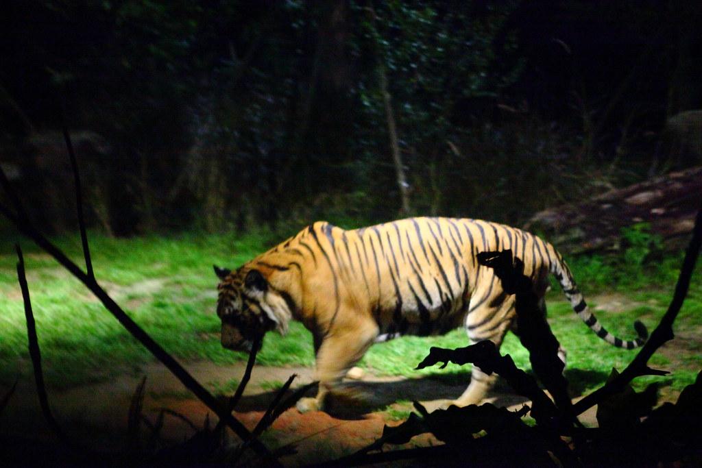 Night Safari 1
