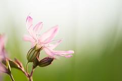 filigree (w-venne) Tags: plant blossom pflanze meadow wiese rosa blte raggedrobin ort kuckuckslichtnelke silenefloscuculi