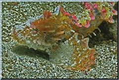 270904 Anglerfish 1 K (LoxPix2) Tags: loxpix australia underwater fish fiji vanuatu shark noumea cairns ascidian sponge