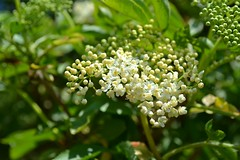 Elderberry blossom ... catching the sunlight (Maria Godfrida) Tags: white green nature spring blossom elder springtime whiteflowers elderberry elderberryblossom