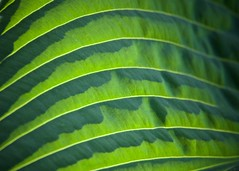Green Waves (The Good Brat) Tags: green garden us waves curves underside co hosta perennial plantainlily