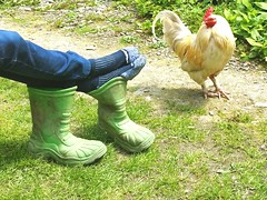 A Country scene. .. Cockerel Chickens Boots Farm Farmlife Wales Country Life Socks Garden Yard Bird Feet Relaxing Resting Peace Simple Life    (Almena14) Tags: bird chickens feet socks wales yard garden peace boots farm country relaxing resting countrylife simplelife farmlife cockerel