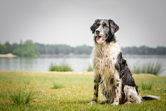 Border Collie (yo_hermans) Tags: dog black white water grass sit sweet listening pet outdoor animal