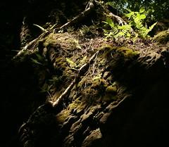 Mossy Boulder (Lana Gramlich) Tags: boulder erosion moss plants roots nature lana gramlich canoneos5d jul22016 niagaraglen naturereserve ontario canada lanagramlich summer