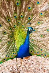 Peacock (Absolutely_Smashing) Tags: bird dance peacock feather nature color beak blue eyes close up nikon d7100 sigma 105 28 sigma105mm